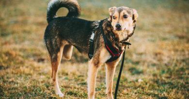 Osteosarkom u psa: rakovina kosti